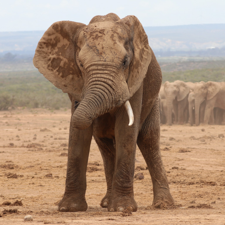 An african bush elephant in Addo, South Africa