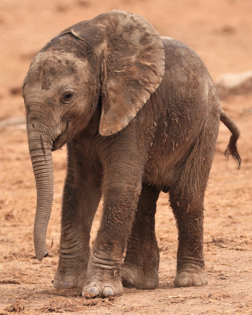 A tiny elephant calf
