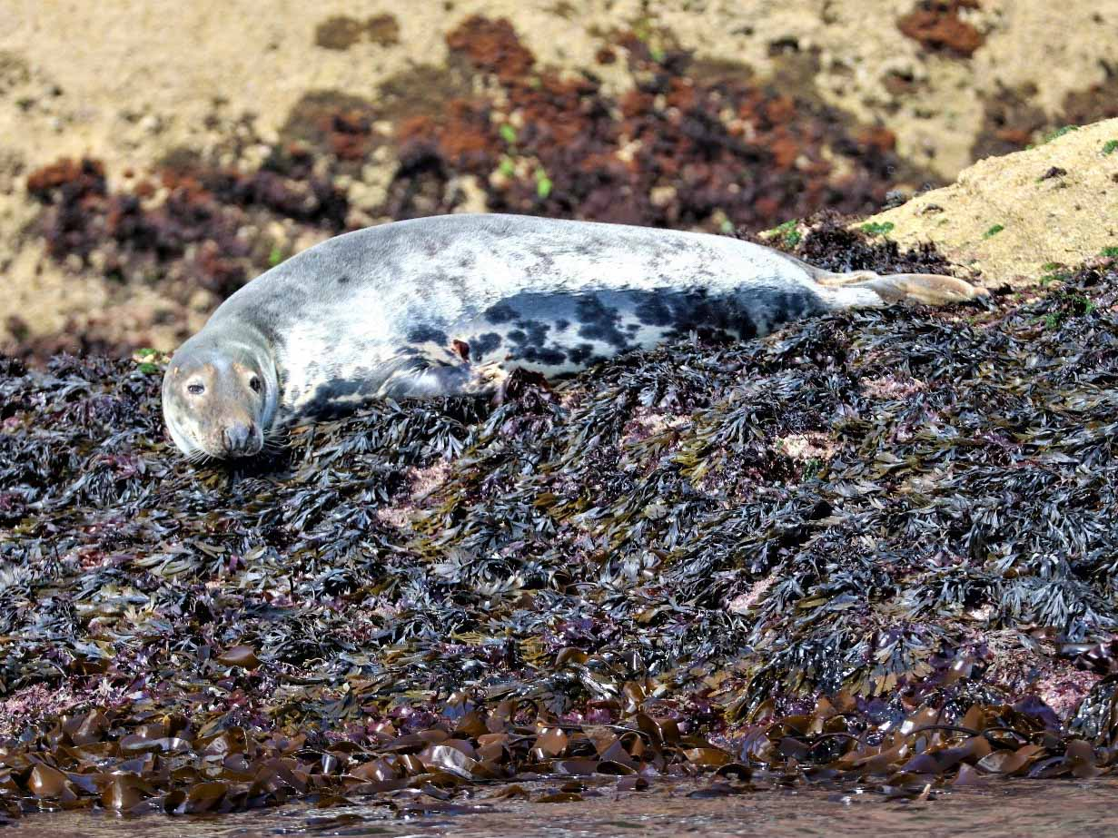 A grey seal watches intently from its haulout