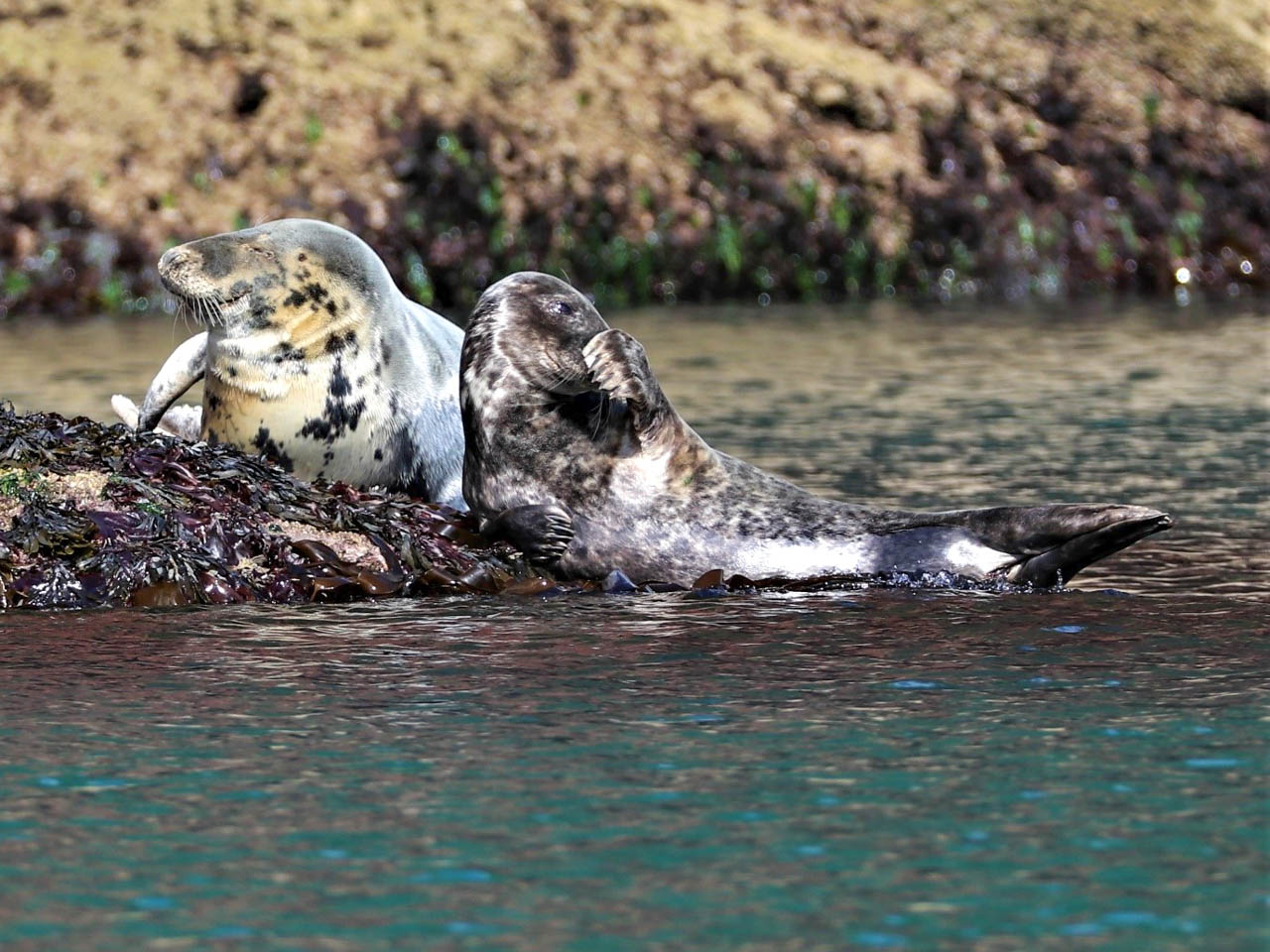 Two grey seals vie for space on the same rock