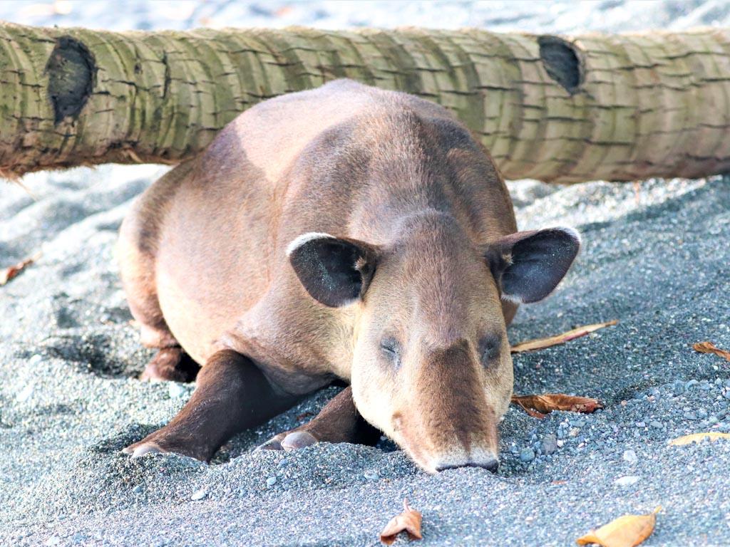 A sleeping Barird's tapir