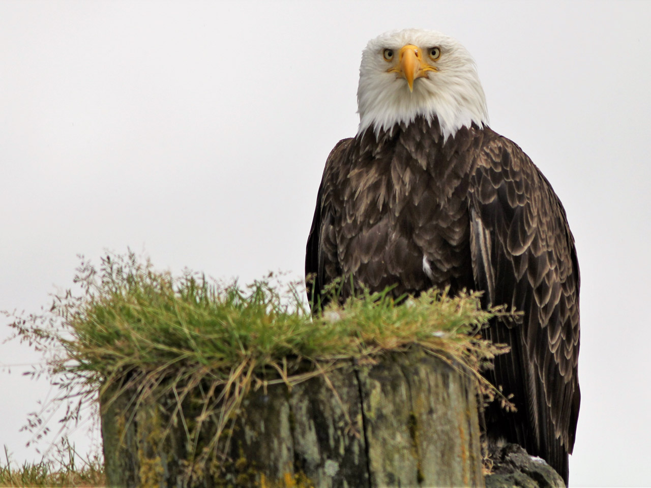 Bald eagle perched on an old jetty stanchion