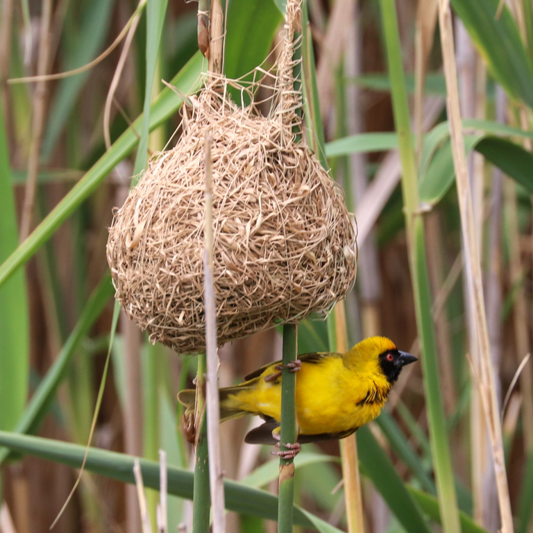 Cape weaver bird perches below its intricate spherical nest