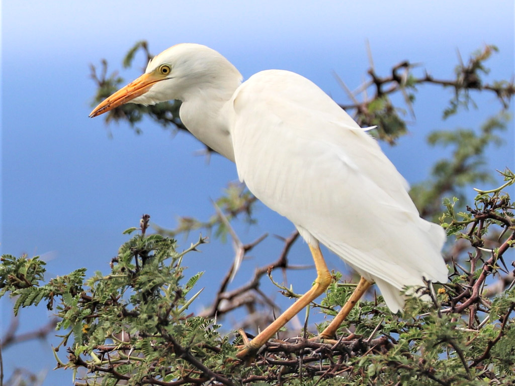 A cattle egret perched on top of a bush