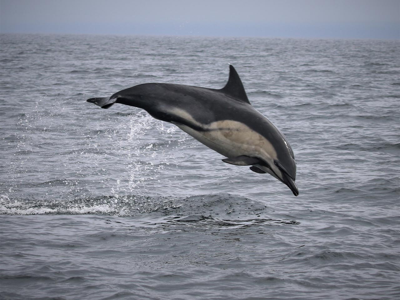 A common dolphin leaps out of the ocean, Bay of Biscay