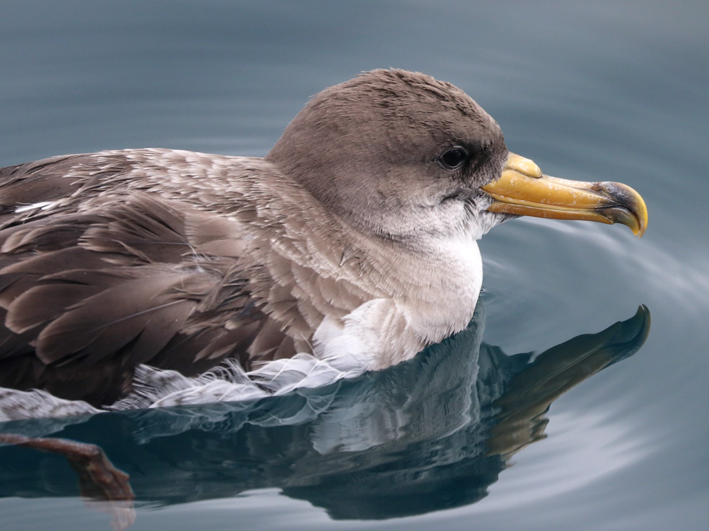 Portrait of a Cory's shearwater taking a rest on the surface of the ocean