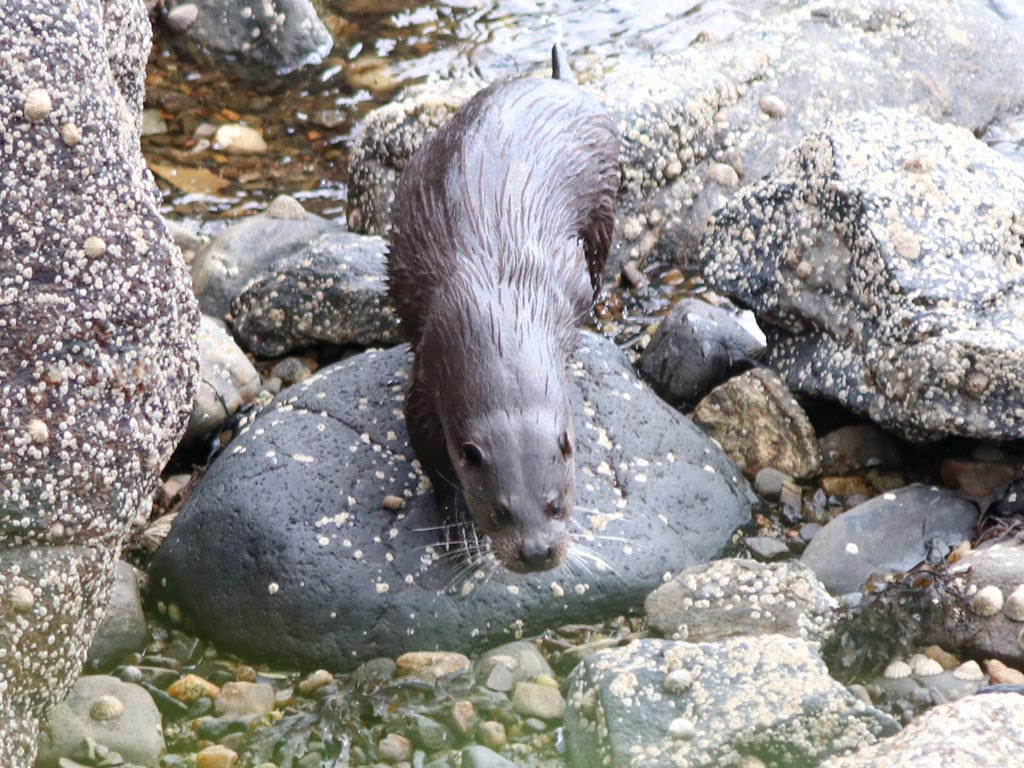 A wet otter emerges from hunting in the sea