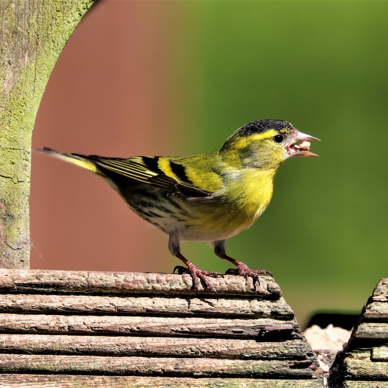An eurasian siskin in Devon, UK