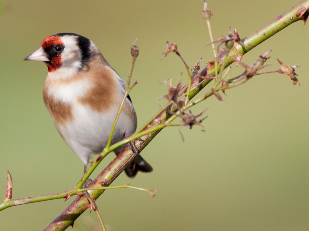 A goldfinch perches on a climbing rose in late winter