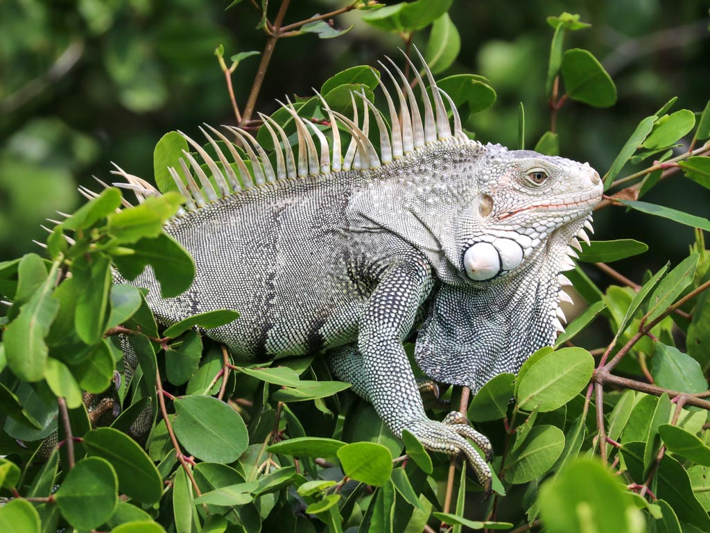 A green iguana perches motionless in a tree