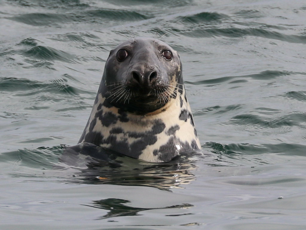 A curious grey seal checks me out