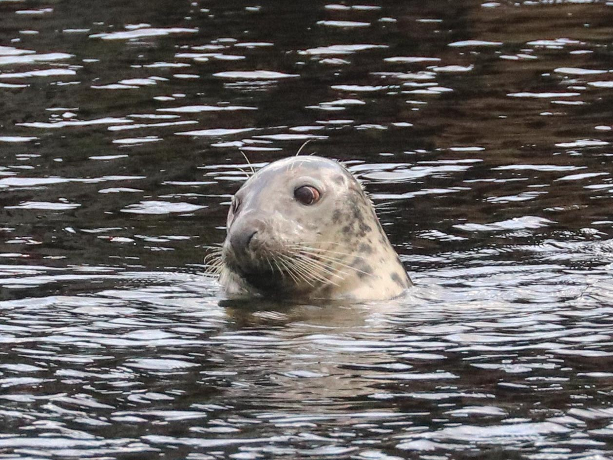 A grey seal pops its head out of the water, Ullapool harbour