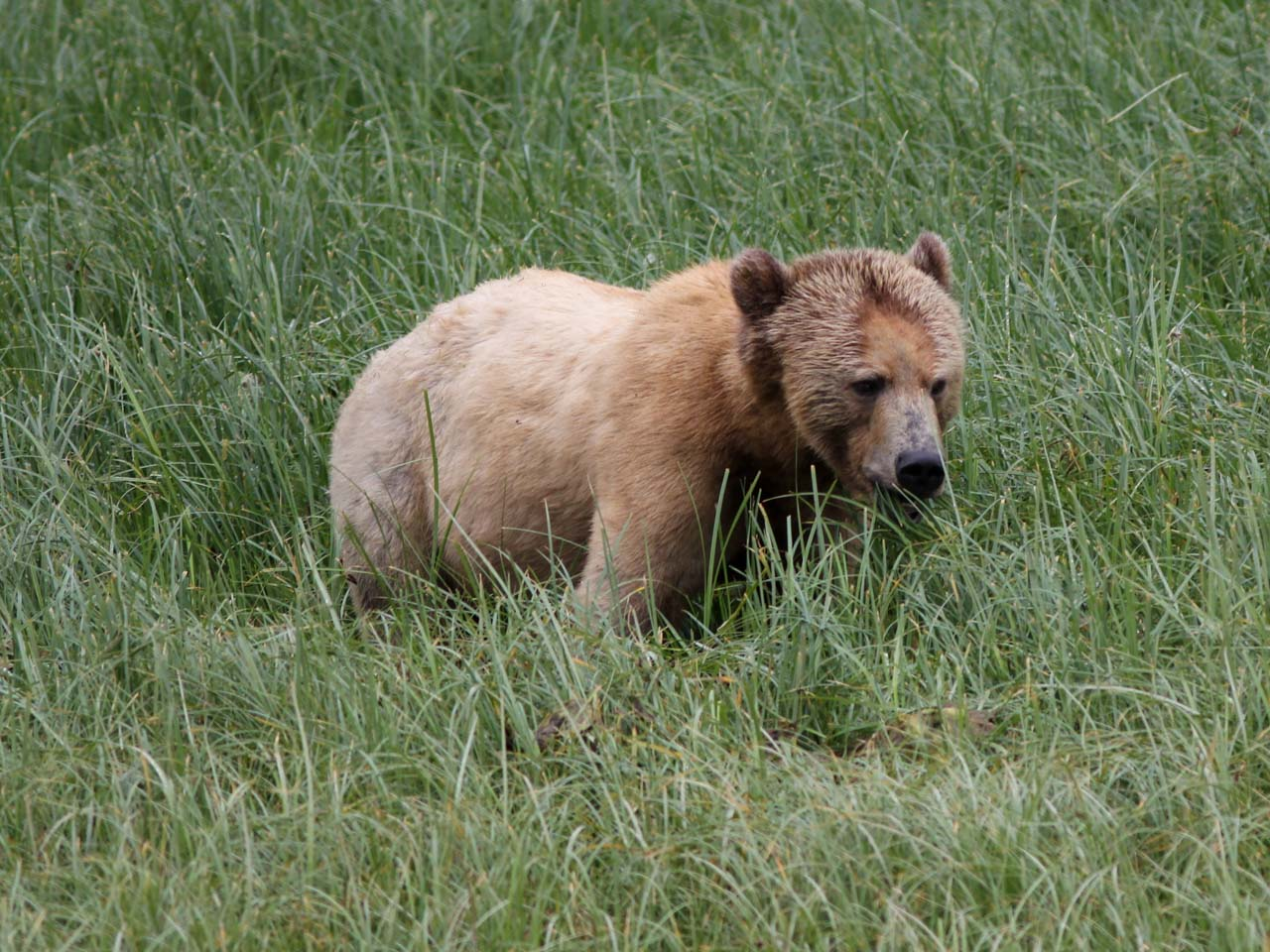 Grizzly bear feeding on a British Colombia meadow
