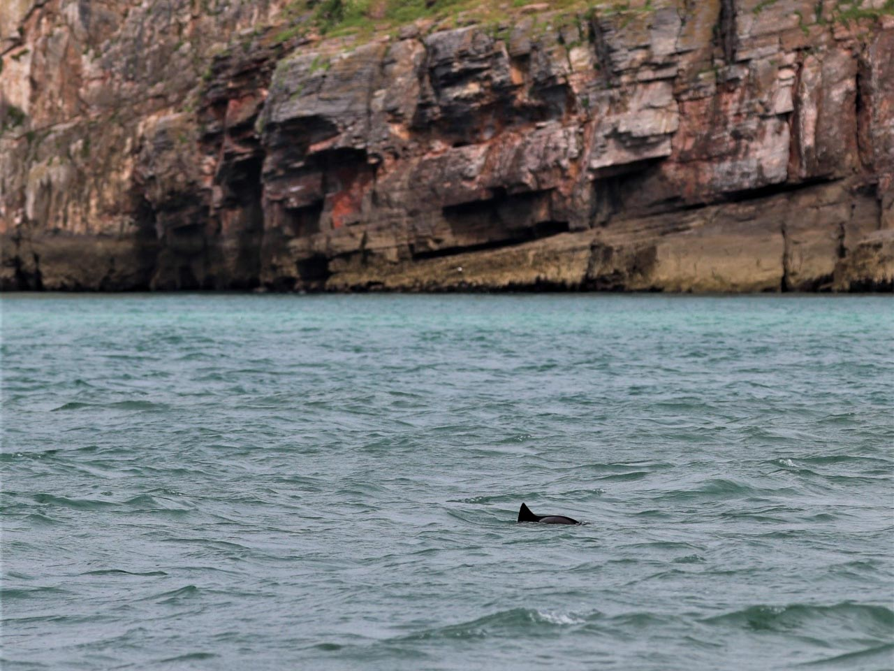A harbour porpoise surfaces whilst feeding off Berry Head in Devon