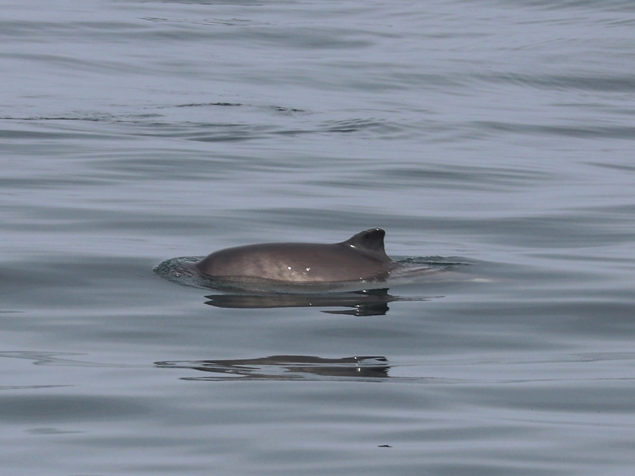 The triangular dorsal fin and back of a harbour porpoise shows as it surfaces