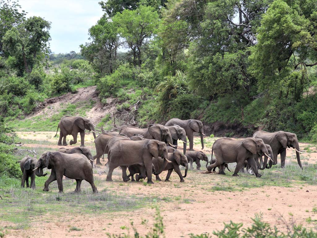A herd of elephants crossing a dry riverbed in Kruger