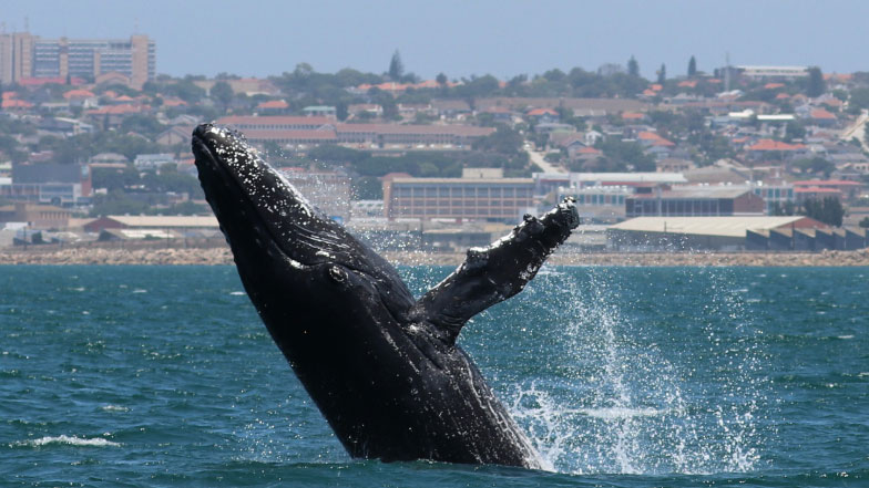 A humpback whale breaches right out of the water off Port Elizabeth