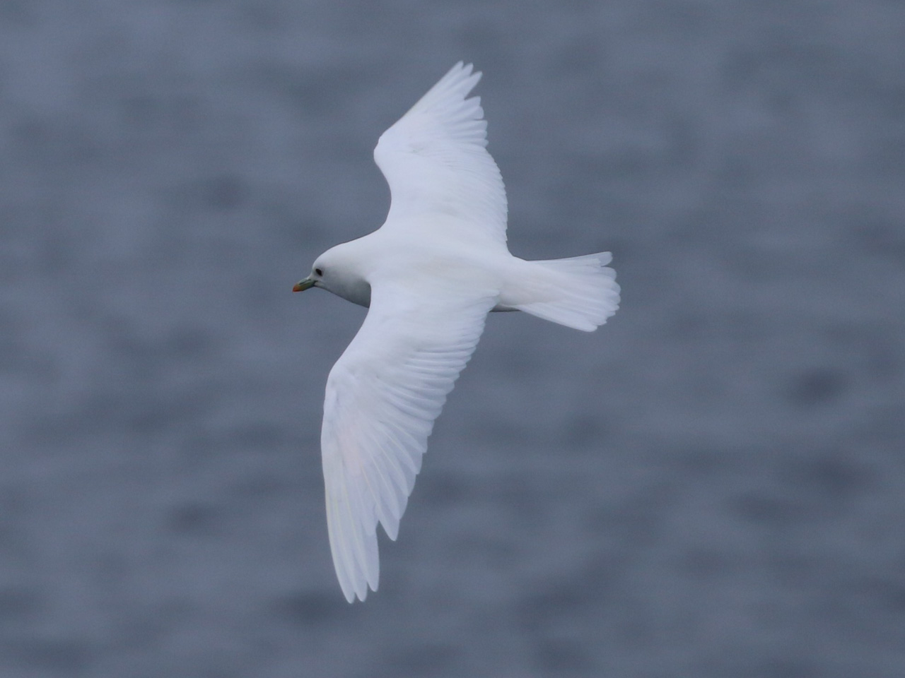 An ivory gull soars over the Greenland Sea