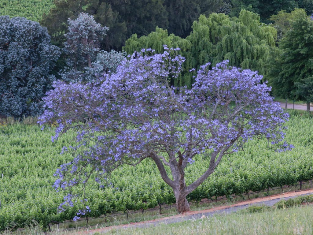 A jacaranda tree in bloom in a Stellenbosch vineyard