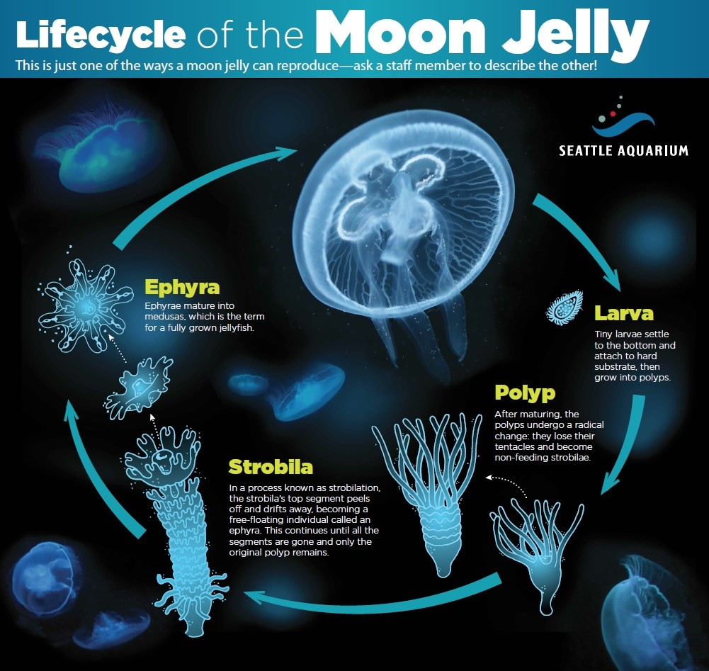 lifecycle-of-the-moon-jelly