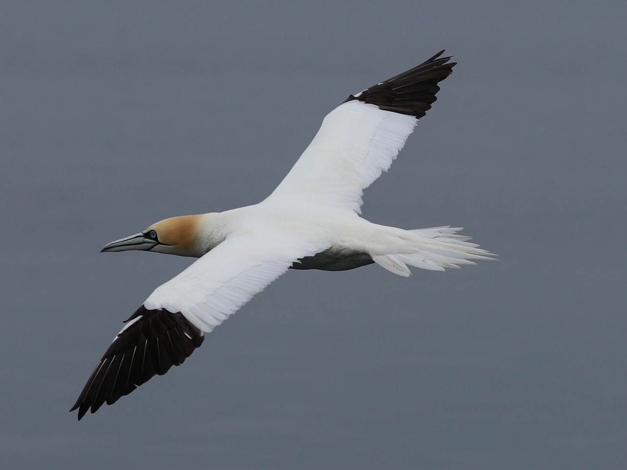 A northern gannet soars above the ocean, Atlantic Ocean