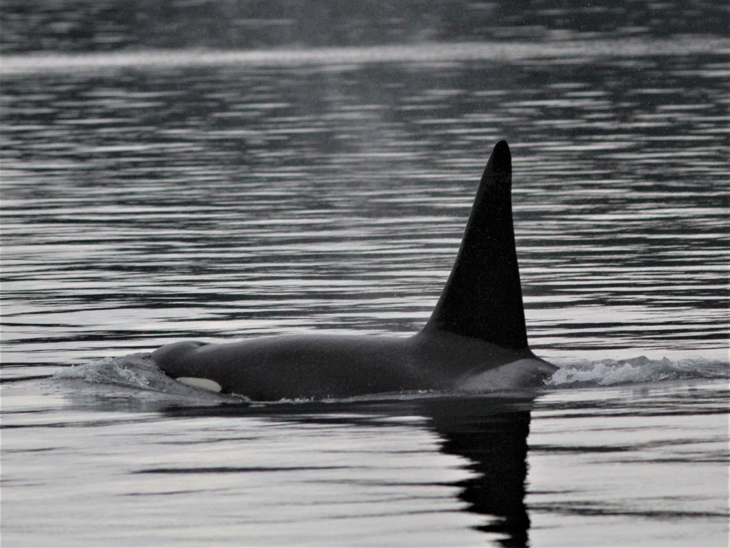 A male orca from the Northern Resident killer whale community