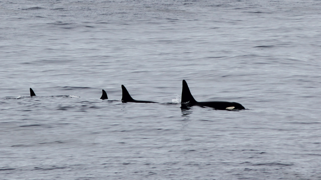 A pod of orca cruise across the bow of our ship.