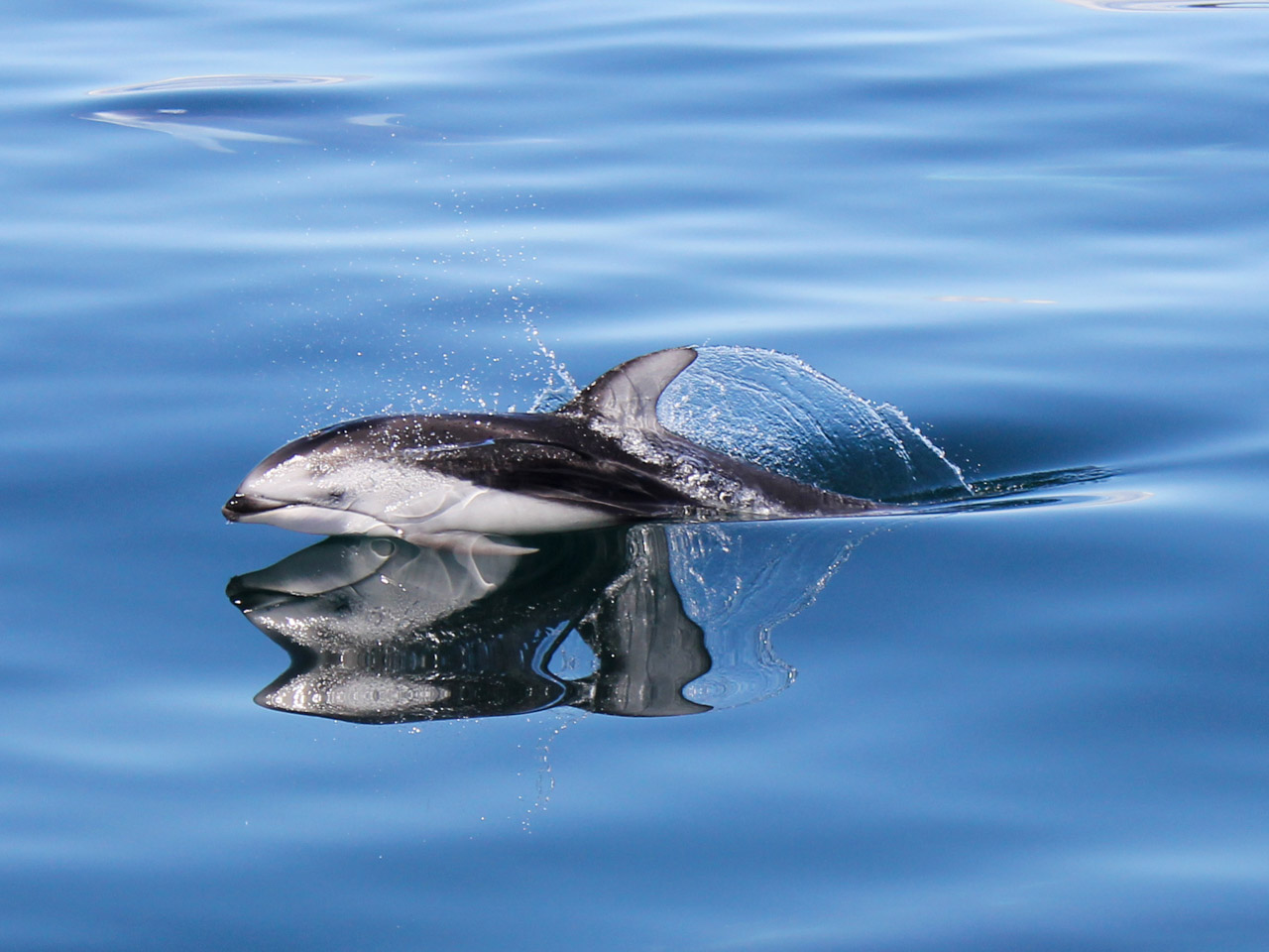 A Pacific whites-sided dolphin and its reflection
