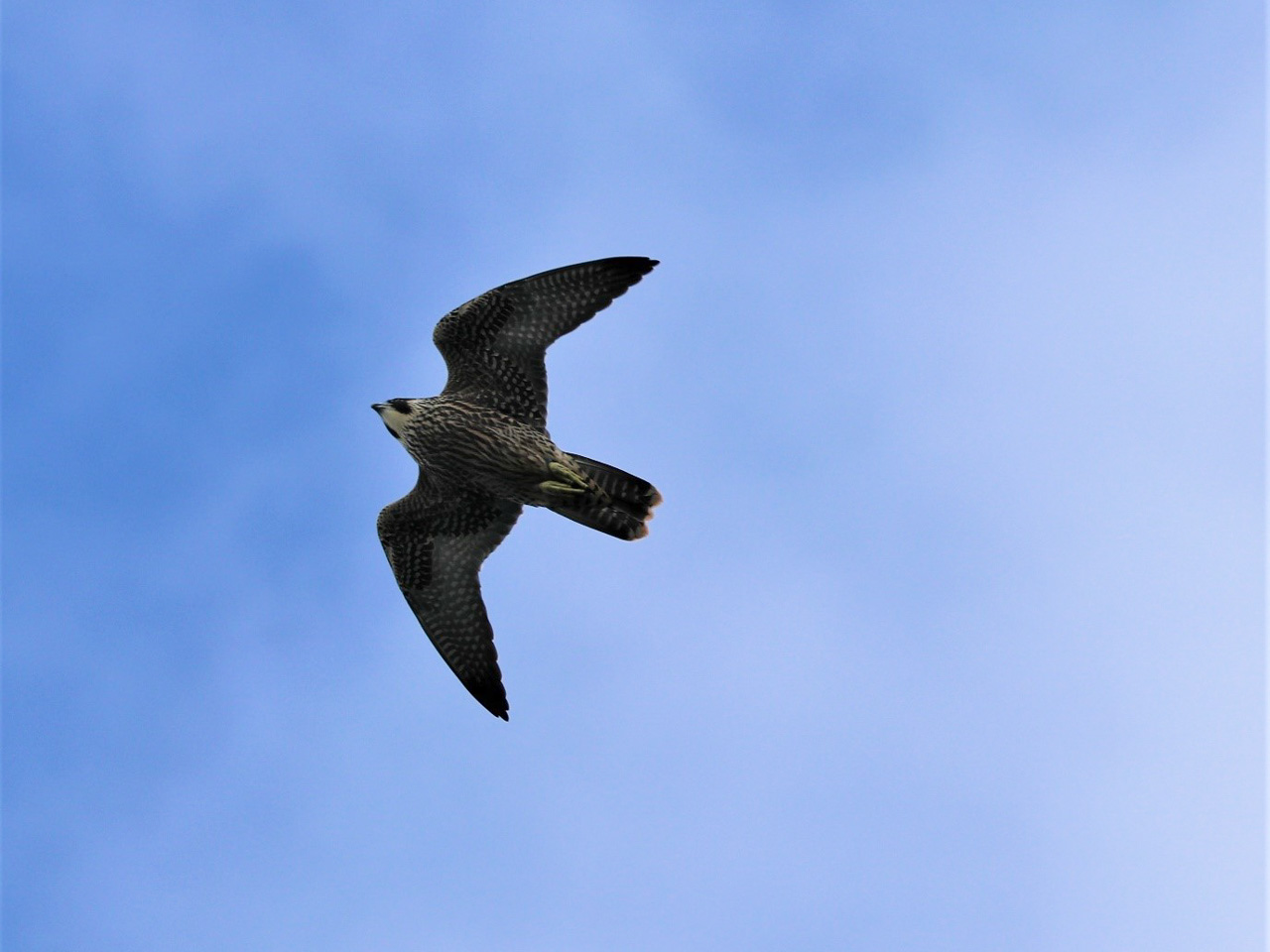A peregrine falcon hunting above offshore rocks in Devon