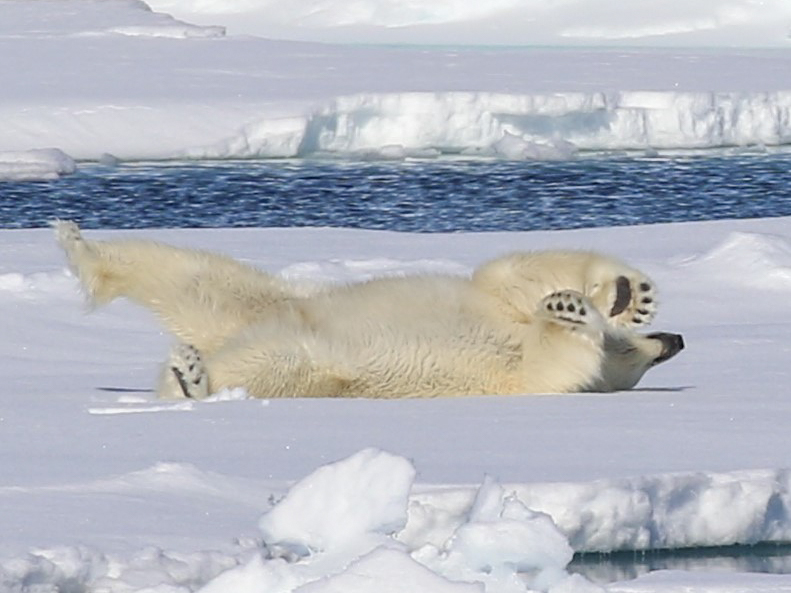 A polar bear rolling on the ice exposing its belly and its huge paws