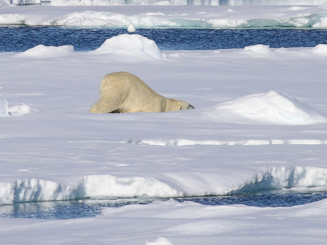 A polar bear rubs its body on the ice as it enjoys the sunshine
