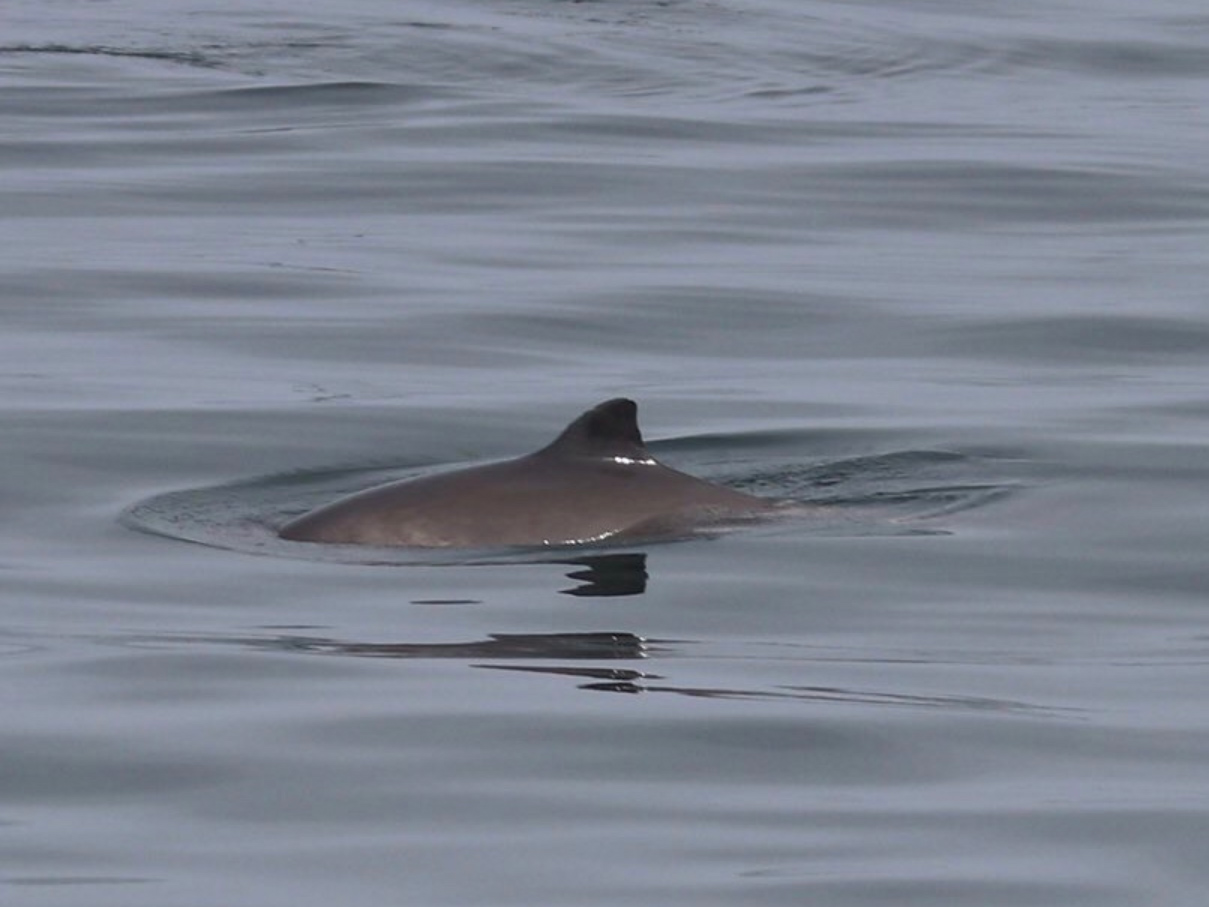 Harbour porpoise off the Isle of Arran