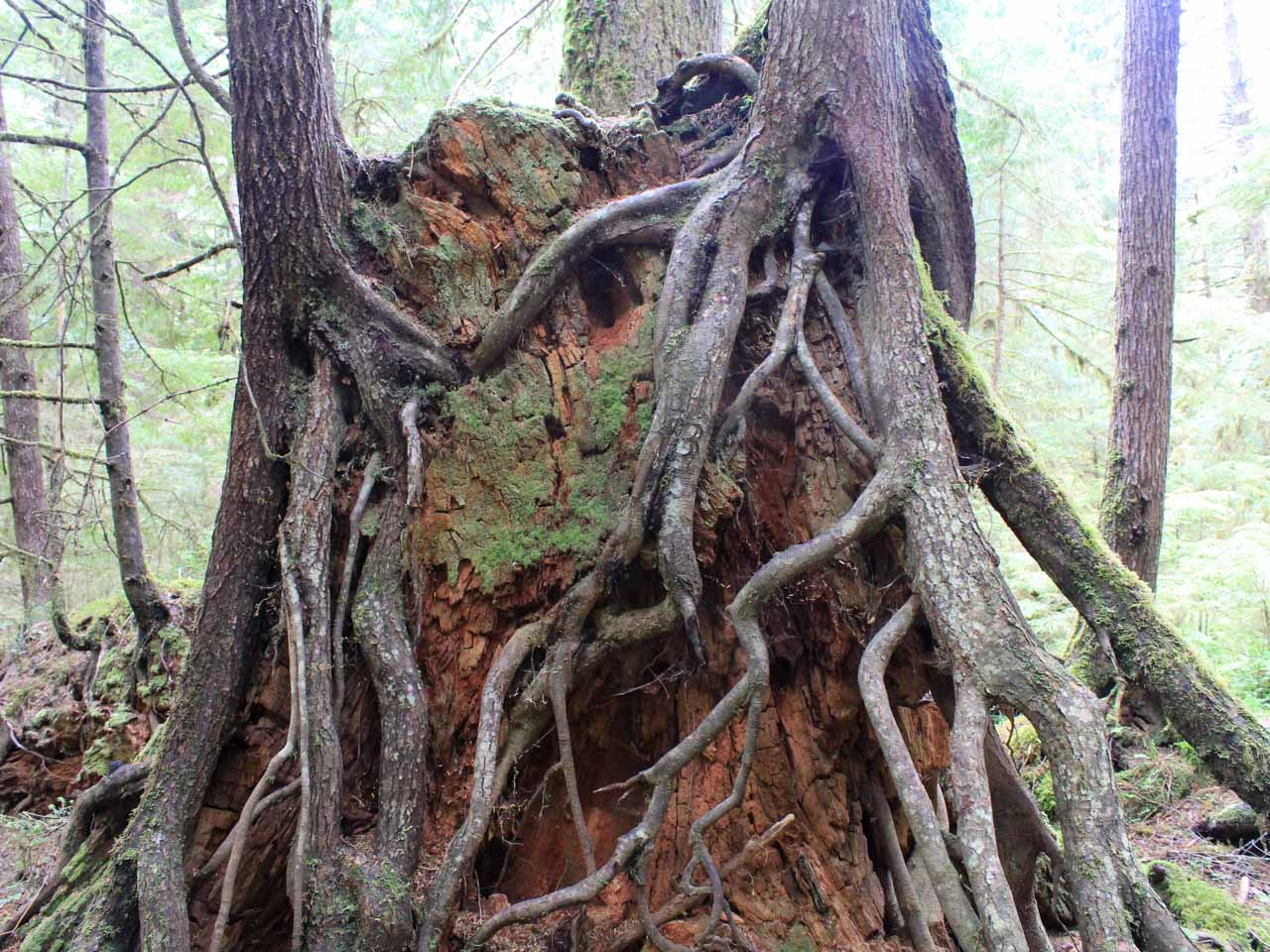 Ancient tree roots in primary temperate rainforest