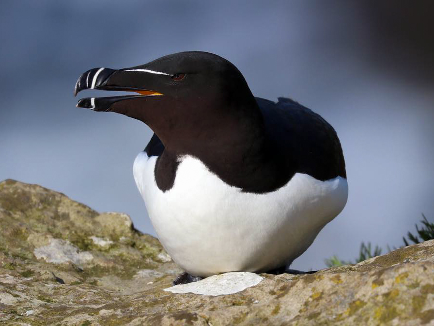 Razorbill, Isle of Lunga, Inner Hebrides A solitary razorbill sat on a rock