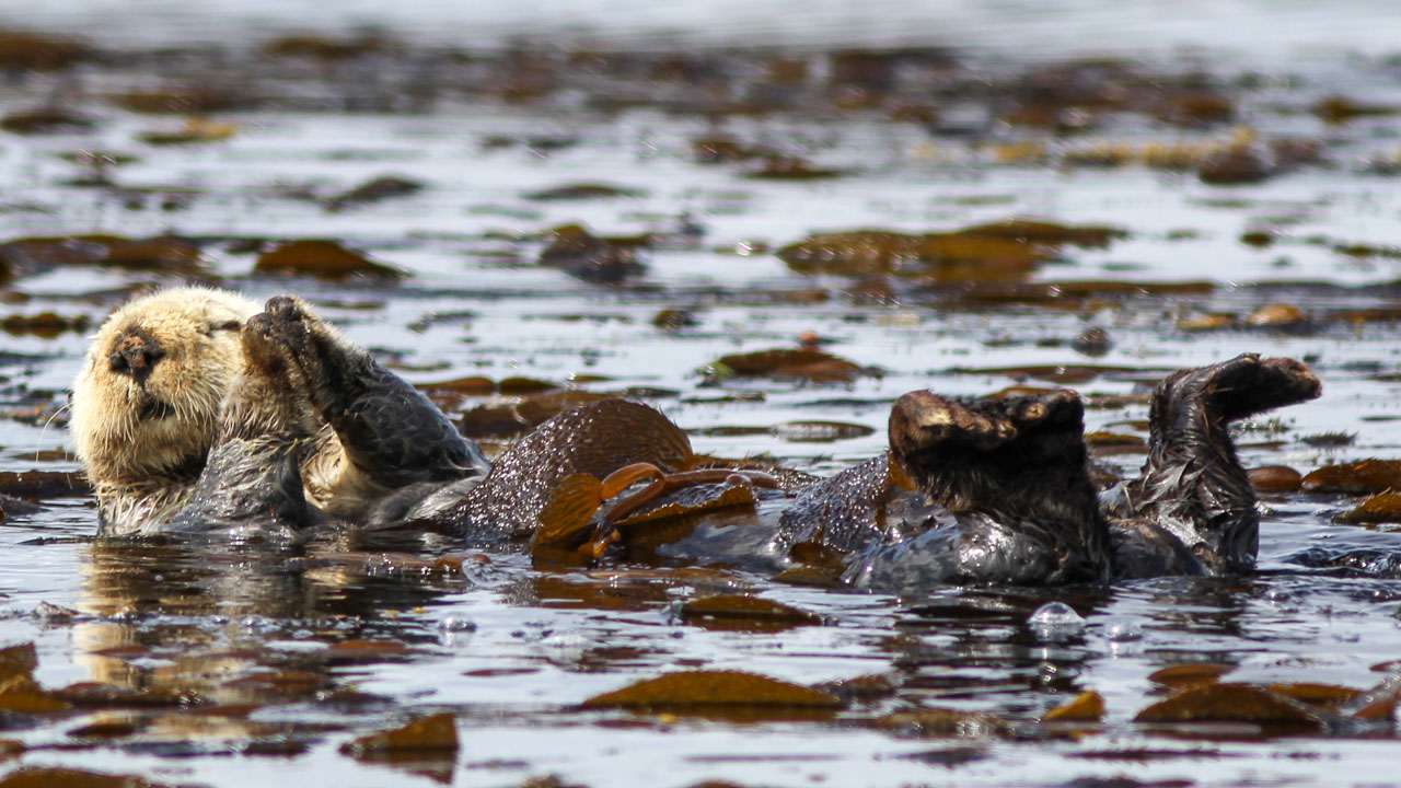 A sea otter wraps itself in kelp