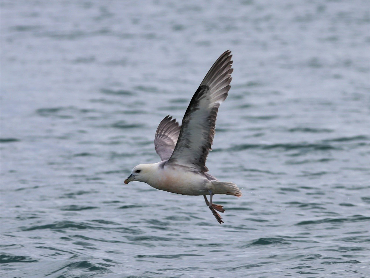 A fulmar takes off from the sea