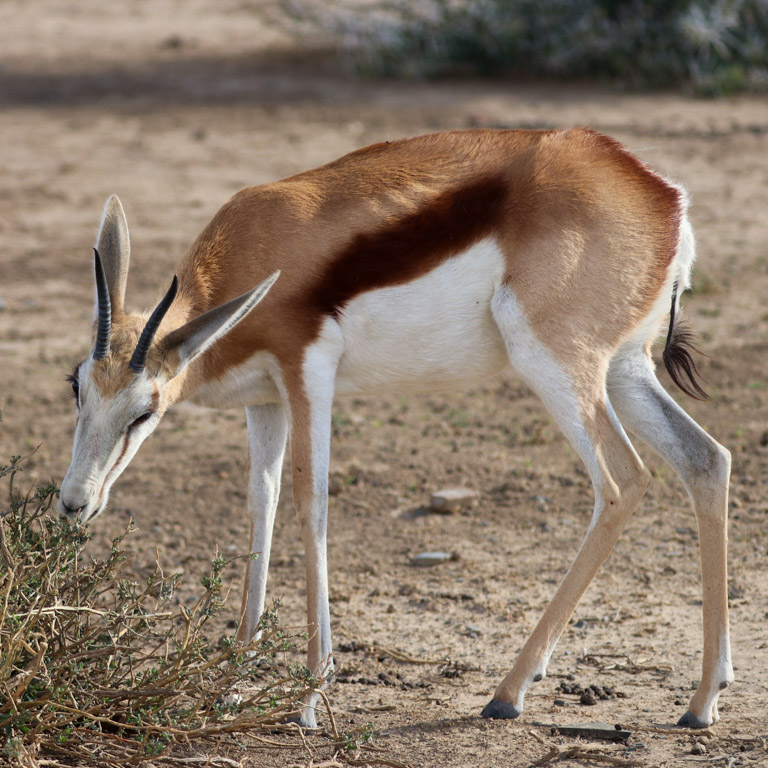 A springbok antelope grazing on acacia