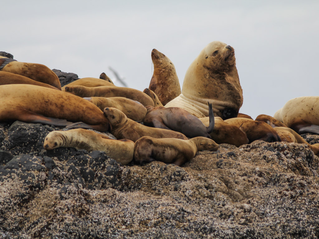 A group of Steller's sea lions.