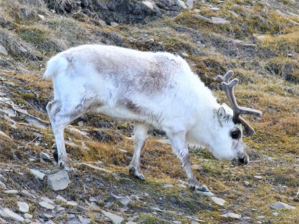A grazing Svalbard reindeer