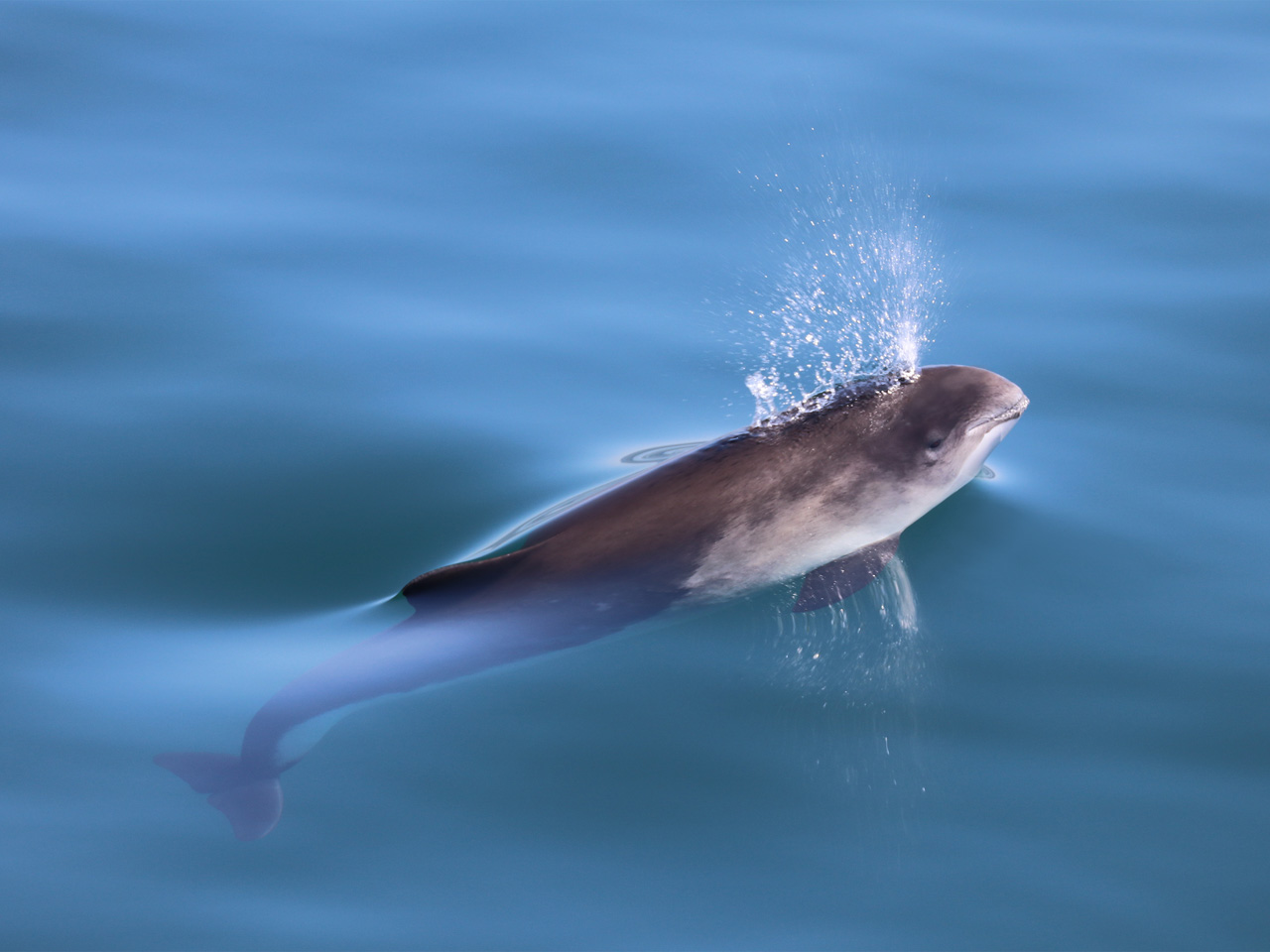 A harbour porpoise surfaces