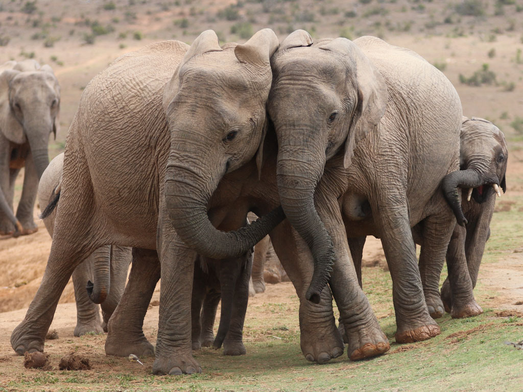 Two young African elephants affectionately interact