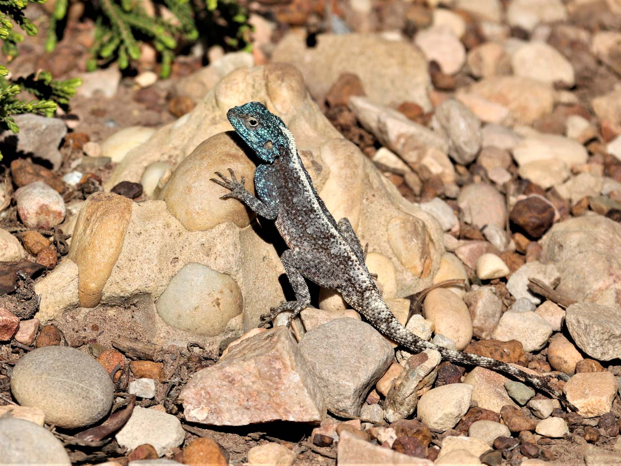 a-male-southern-rock-agama