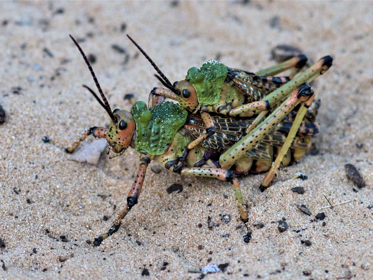 a-pair-of-milkweed-locusts-mating