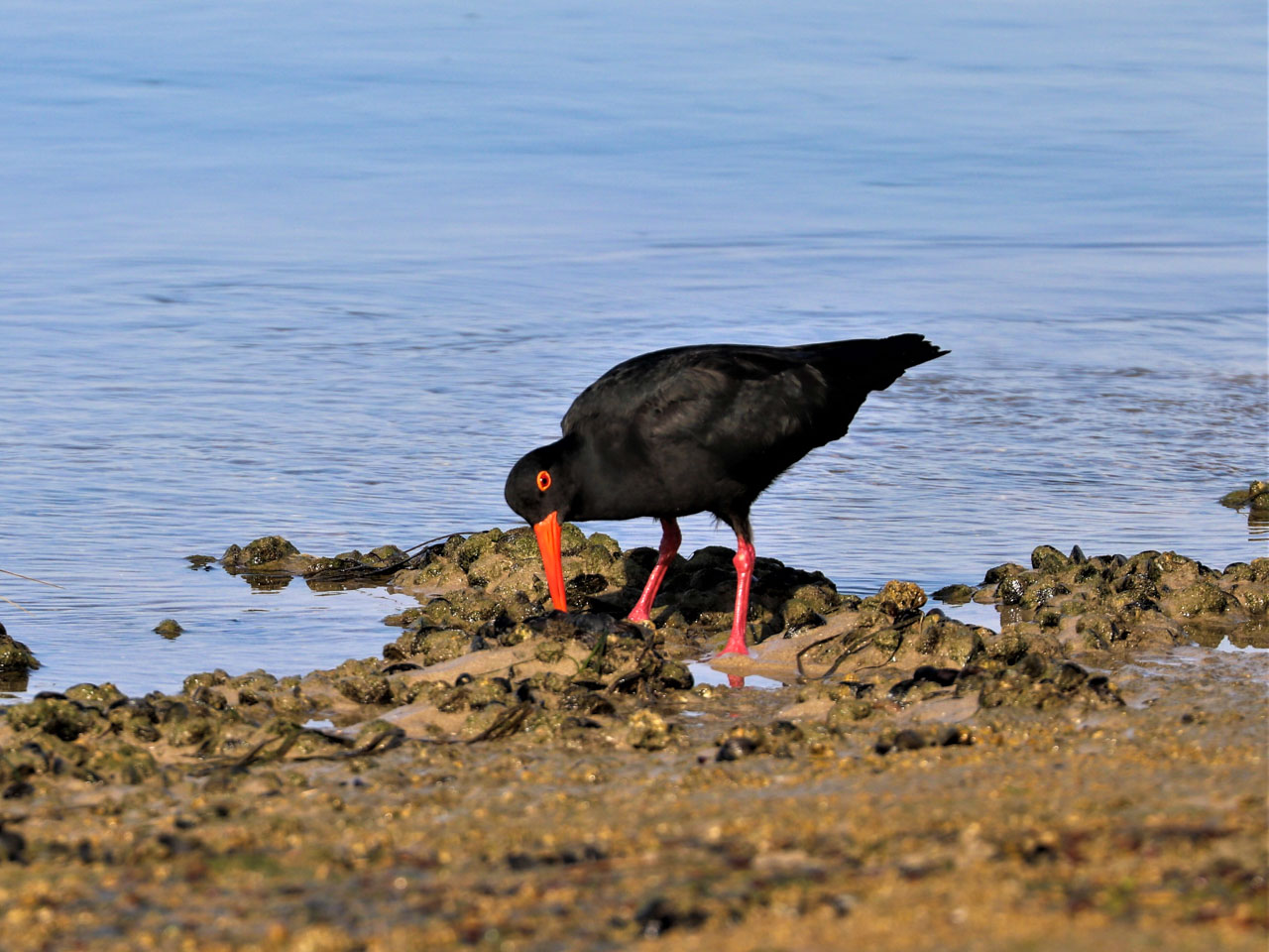 african-black-oystercatcher