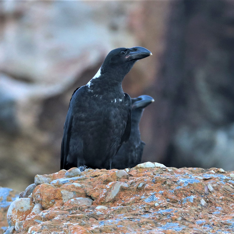White necked ravens