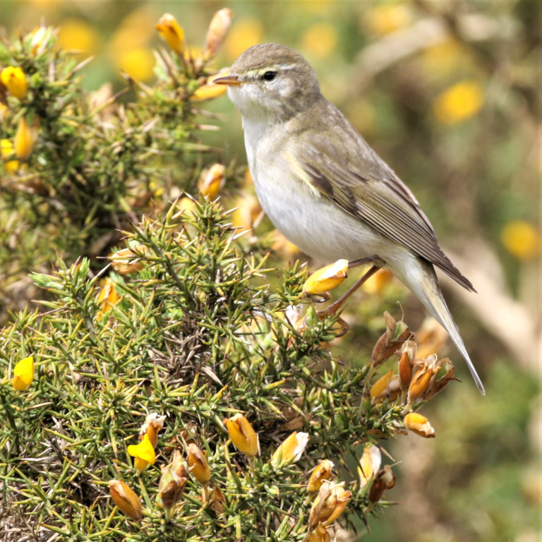 Willow warbler on gorse